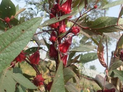 Sour leaf